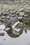 Chinstrap Penguin Stock Photography