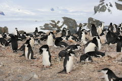 Chinstrap penguin rookery in Antarctica. Chinstrap penguin rookery (Pygoscelis antarctica) in Antarctica Stock Photo