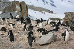 Chinstrap penguin rookery in Antarctica. Chinstrap penguin rookery (Pygoscelis antarctica) with people in the background in Antarctica stock photos
