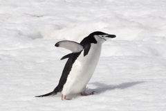 Chinstrap penguin. A chinstrap penguin running in the snow in Antarctica Stock Photography