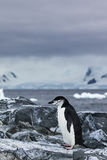 Chinstrap Penguin standing on rocks Royalty Free Stock Image