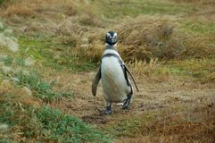 Chinstrap penguin Royalty Free Stock Photos