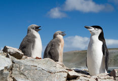 Chinstrap penguin with two chicks. Chinstrap penguin feeding with two young chicks Royalty Free Stock Photography