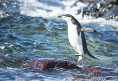 Chinstrap Penguin in the water Stock Images
