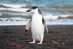 Chinstrap penguine on the Deception island Stock Images