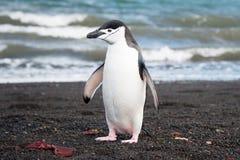 Chinstrap penguine på bedrägeriön Arkivbilder