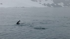 Chinstrap Penguins στην κολύμβηση κοντά στο μισό νησί φεγγαριών απόθεμα βίντεο