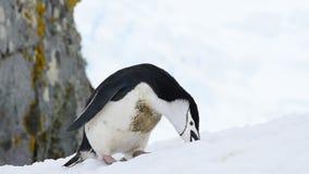 Chinstrap Penguins στο χιόνι απόθεμα βίντεο