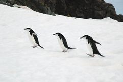 chinstrap penguins Στοκ Φωτογραφία