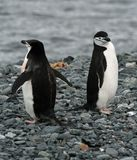 Chinstrap penguins 2 Stock Image