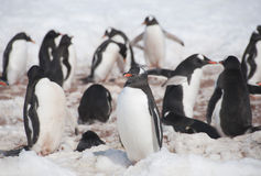 Chinstrap penguins Royalty Free Stock Image