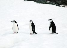 Chinstrap penguins. Three chinstrap penguins sitting on Half Moon Island, Antarctica Royalty Free Stock Photos