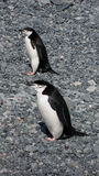 Chinstrap Penguins Antarctica Stock Photos