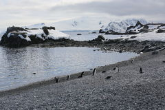Chinstrap penguins in Antarctica. Chinstrap penguins (Pygoscelis antarctica) in Antarctica, standing on the beach Stock Photos