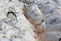Chinstrap penguins in Antarctica. Chinstrap penguins (Pygoscelis antarctica) in Antarctica. Walking on the path Royalty Free Stock Photos