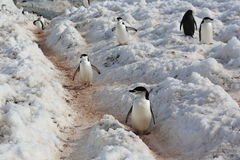 Chinstrap penguins in Antarctica Royalty Free Stock Image