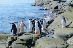 Chinstrap penguins on the beach in Antarctica stock photography