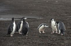 Chinstrap Penguins on the beach. Deception Island in Antarctica Royalty Free Stock Photo