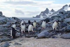 Chinstrap penguins climbing over rocks Stock Photos