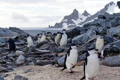 Chinstrap penguins climbing over rocks Royalty Free Stock Photo