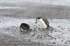 Chinstrap Penguins Close-Up Whaler`s Bay, Antarctica. `Are you ok?` Chinstrap penguins frolic on the black volcanic sand at Whaler`s Bay. Deception Island Royalty Free Stock Images