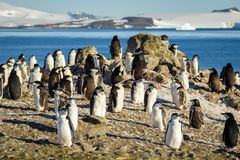 Chinstrap penguins colony Royalty Free Stock Photography