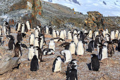 Chinstrap penguins colony members gathered on the rocks, Half Mo Royalty Free Stock Image