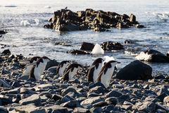 Chinstrap penguins gang hurrying on their bussiness at the coast Royalty Free Stock Images