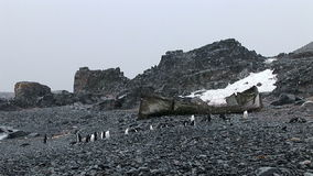 Chinstrap penguins on Half Moon Island stock video footage