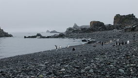 Chinstrap penguins on Half Moon Island stock footage
