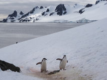 Chinstrap Penguins on Halfmoon Island in Antarctica Stock Image