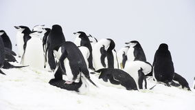 Chinstrap Penguins on the nest stock footage
