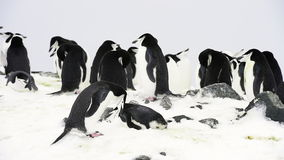 Chinstrap Penguins on the nest stock video footage