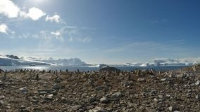 Chinstrap penguins on the nest timelaps stock footage