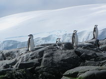 Chinstrap penguins royalty free stock photos