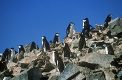 Chinstrap penguins (Pygoscelis antarctica) on Half Moon Island, Bransfield Strait, Antarctica Stock Images