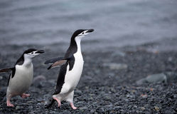 Chinstrap Penguins Stock Images