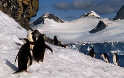Chinstrap Penguins on Snow, Antarctica. Chinstrap Penguins on the snow in Antarctica with a panoramic view of mountains and ice