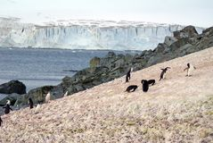 Chinstrap penguins in the snow Stock Image