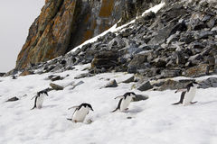 Chinstrap penguins. Some chinstrap penguins running up the hill in Antarctica Stock Photography