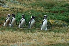 Chinstrap penguins taking walk Royalty Free Stock Photos