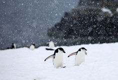 Chinstrap Penguins Royalty Free Stock Images