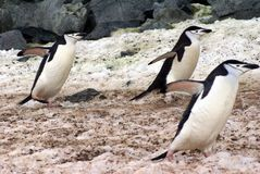 Chinstrap penguins walking on snow in Antarctica Royalty Free Stock Photography