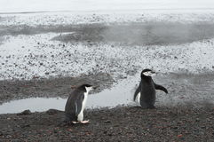 Chinstrap Penguins Whaler`s Bay, Antarctica. Chinstrap penguins frolic on the black volcanic sand as steam rises from the water at Whaler`s Bay. Deception Island Stock Images