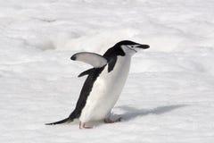 Chinstrap-Pinguin Stockfotografie