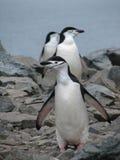 Chinstrap Pinguin Stockbild