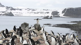 Chinstrap Pinguin stock footage