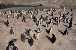 CHINSTRAP PINGUIN Lizenzfreie Stockfotografie