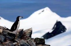 Chinstrap Pinguin Stockfotografie