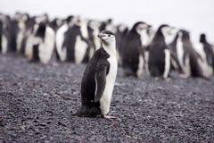 Chinstrap Pinguin Antarktik Lizenzfreie Stockbilder